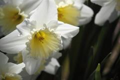 花の森 ガーデン 桃源郷 ラッパ水仙 白