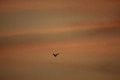 朝焼けの空に飛ぶ鳥・・何処へ