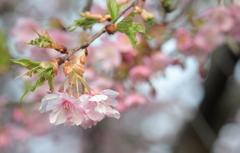 河津桜・・ピンクと緑の魅力
