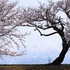 立山連峰を背に優しく咲く桜