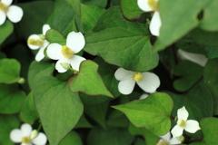 よく見れば清楚で素敵なドクダミの花