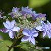山紫陽花 美方八重