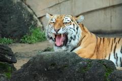 唸る大猫・・トラ