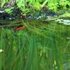 映り込み・・赤い金魚が泳いでた ♪
