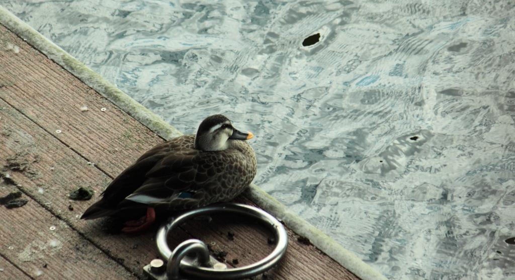 人口桟橋で一時の休憩のカルガモくん