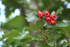 大きな赤い実のなる・・この木なんの木