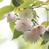 八重桜が見れた喜び・・心もホンノリ桜色^^