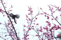 梅にヒヨドリ