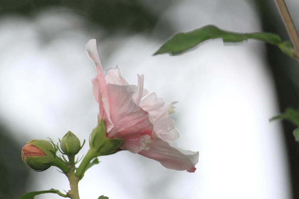 物憂げに雨空を見上げる木槿