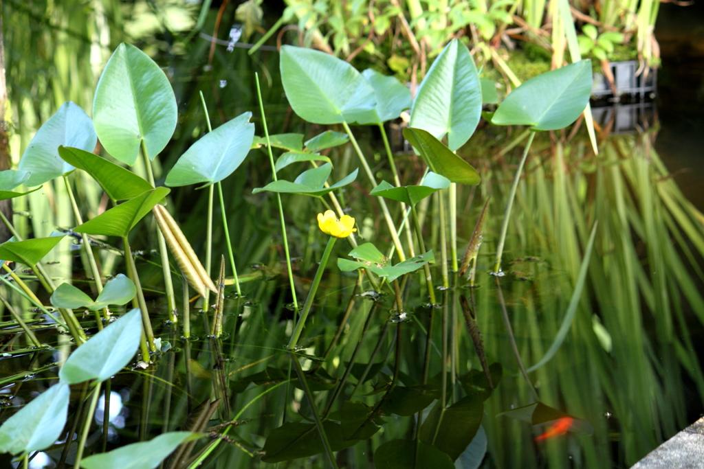 コウホネの咲いてる小さな池
