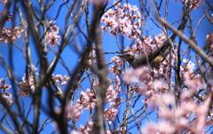 運よく桜にヒヨドリさん^^