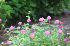 無事平穏な時は・・当たり前のように思って見てた散歩道の花