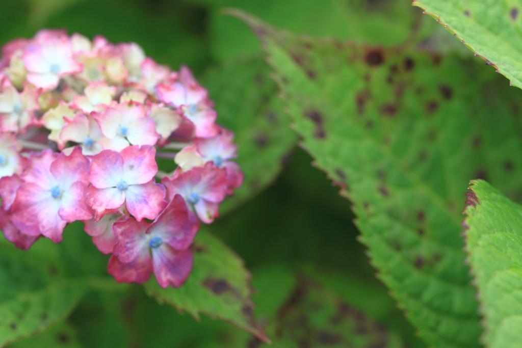 公園の紫陽花 4