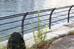 月見草が癒してくれる運河沿いの散歩道