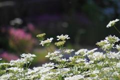今が一番と咲きほこるオルレア