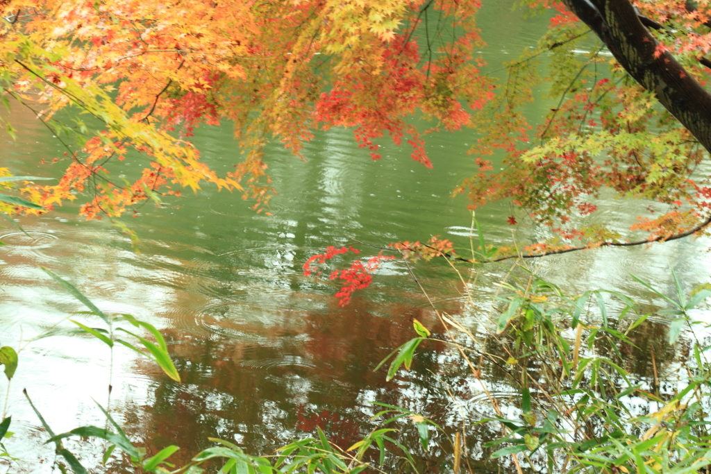 小雨が嬉しい紅葉たち