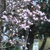 辛夷咲く・・春の公園