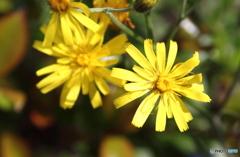 ウズラバタンポポの花