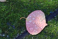 雫が綺麗~落葉 1