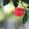 風で傷んだのかな・・赤い椿の花びら