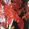 見惚れる紅葉