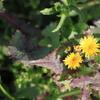 畔に咲く黄色が目を惹くタンポポの花