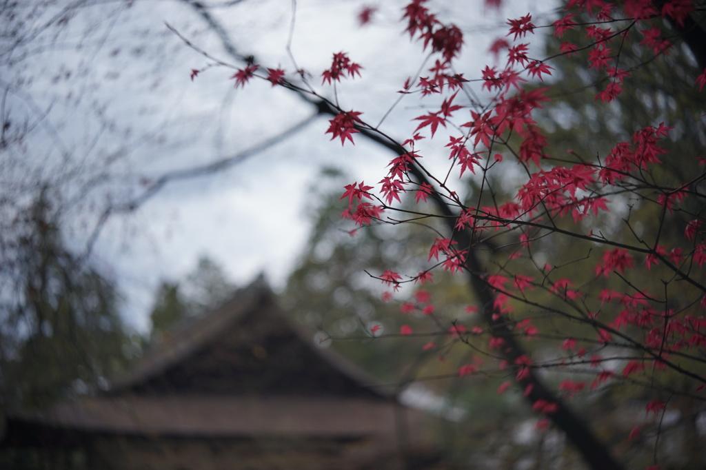 南禅院のイロハモミジ