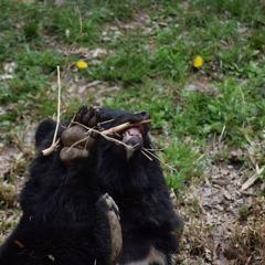 熊は黒ラブ?