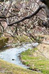 川沿いの梅
