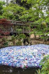 池に浮かぶ紫陽花