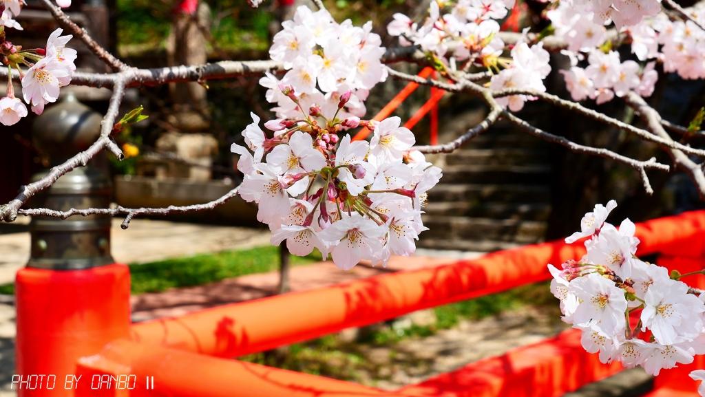 お寺の桜 <2>