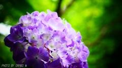 薄紫 <3>