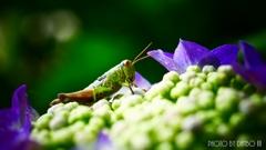 紫陽花と虫 <1>