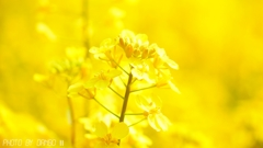 菜の花畑 <3>