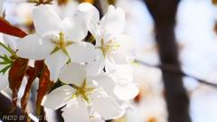 これは山桜でしょ <2>