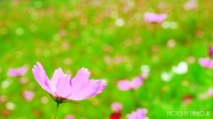 夏咲秋桜 <5>
