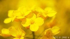 菜の花畑 <6>