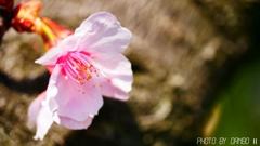 桜咲く <2>