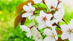一番好きな桜 <2>