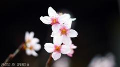 桜咲く <5>