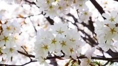 これは山桜でしょ <1>