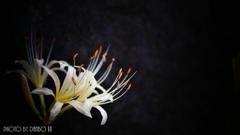 天上に咲く白花 <9>