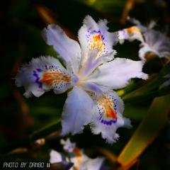 フリンジ調の花 <2>
