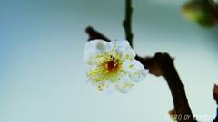 白盆梅 <2>