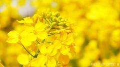 菜の花畑 <1>