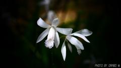 白花紫蘭 <3>