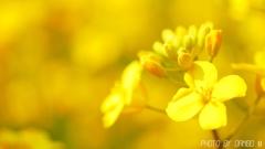 菜の花畑 <5>