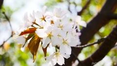 これは山桜でしょ <3>
