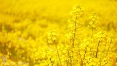 菜の花畑 <2>