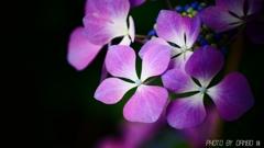 薄紫 <2>